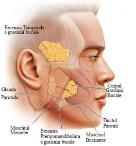 Anatomia zonei bucale dr radu panturu