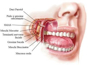 Bichectomia: Bula-de-grasime-Bichat